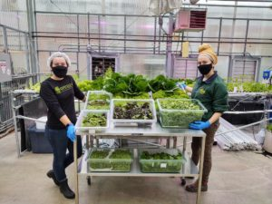 Harvesting Produce in the Presidents Park Hydroponic Greenhouse